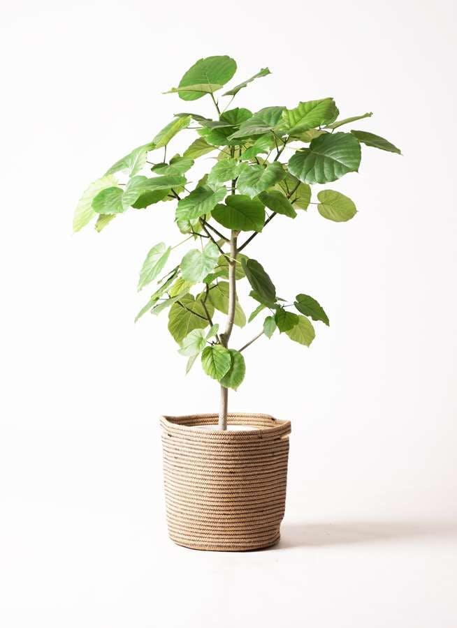 観葉植物 フィカス ウンベラータ 8号 ノーマル リブバスケットNatural 付き