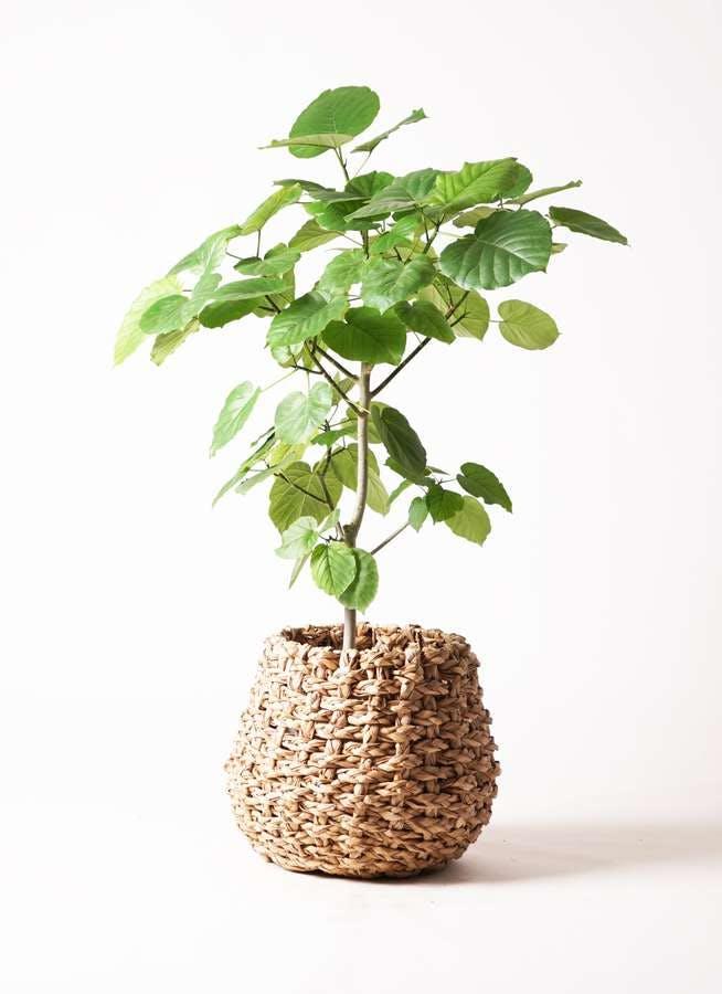 観葉植物 フィカス ウンベラータ 8号 ノーマル ラッシュバスケット Natural 付き