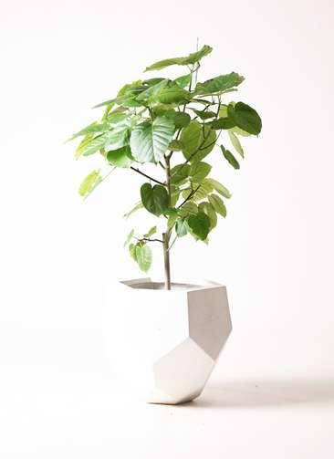 観葉植物 フィカス ウンベラータ 8号 ノーマル ポリゴヘクサ 白 付き