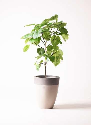 観葉植物 フィカス ウンベラータ 8号 ノーマル ファイバーストーン カプリ サンディホワイト 付き