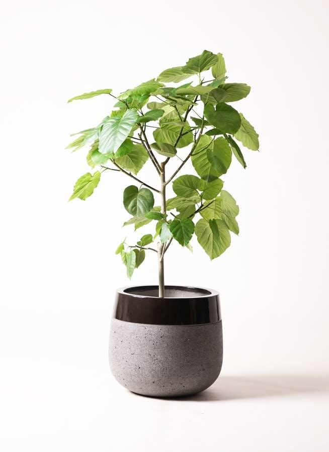 観葉植物 フィカス ウンベラータ 8号 ノーマル ファイバーストーン タウルス ミドル 黒 付き