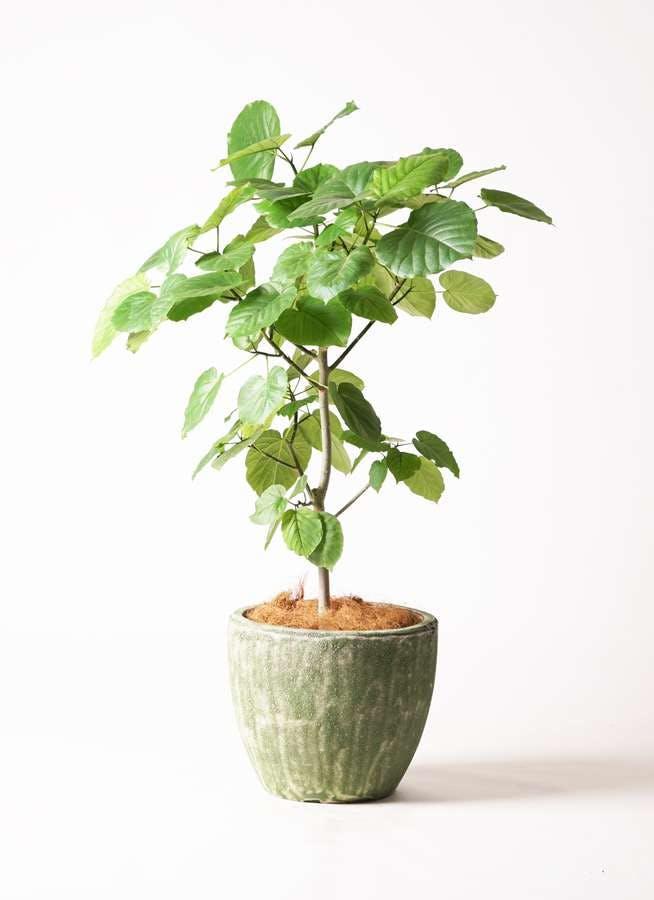観葉植物 フィカス ウンベラータ 8号 ノーマル アビスソニア ミドル 緑 付き