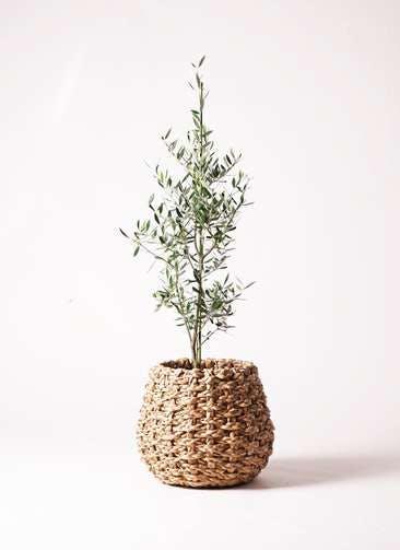 観葉植物 オリーブの木 8号 コロネイキ ラッシュバスケット 付き