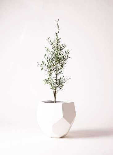 観葉植物 オリーブの木 8号 コロネイキ ポリゴヘクサ 白 付き