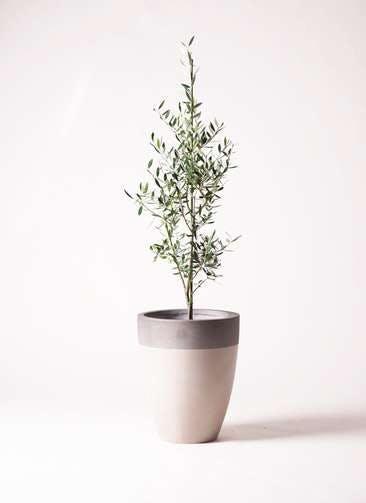 観葉植物 オリーブの木 8号 コロネイキ ファイバーストーンカプリ サンディホワイト 付き