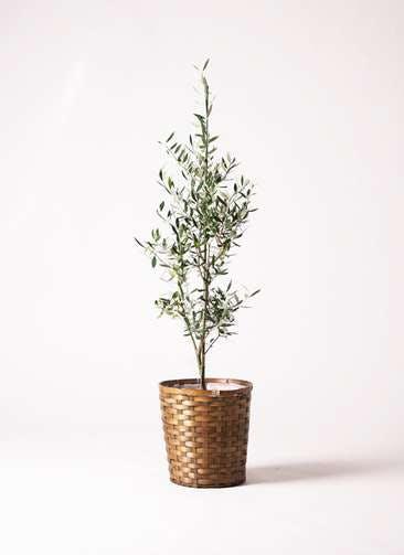 観葉植物 オリーブの木 8号 コロネイキ 竹バスケット 付き