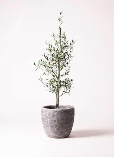 観葉植物 オリーブの木 8号 コロネイキ アビスソニアミドル 灰 付き