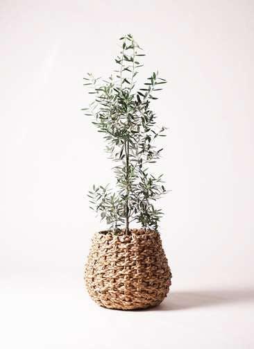 観葉植物 オリーブの木 8号 チプレッシーノ ラッシュバスケット 付き