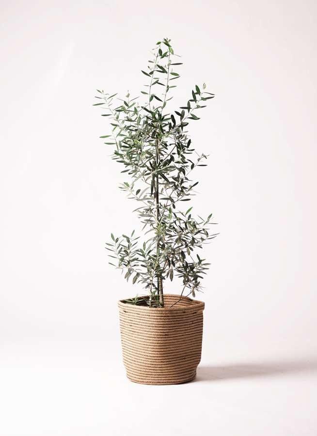 観葉植物 オリーブの木 8号 チプレッシーノ リブバスケットNatural 付き
