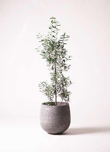 観葉植物 オリーブの木 8号 チプレッシーノ エコストーンGray 付き