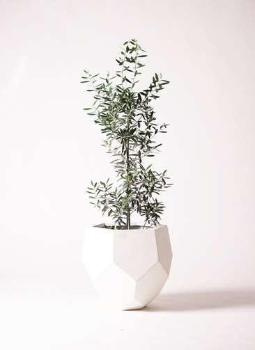 観葉植物 オリーブの木 8号 チプレッシーノ ポリゴヘクサ 白 付き