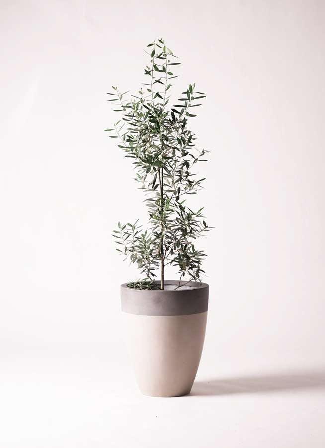 観葉植物 オリーブの木 8号 チプレッシーノ ファイバーストーンカプリ サンディホワイト 付き