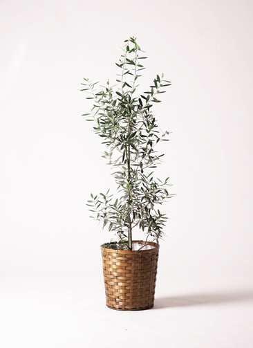 観葉植物 オリーブの木 8号 チプレッシーノ 竹バスケット 付き