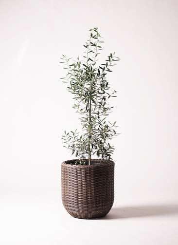 観葉植物 オリーブの木 8号 チプレッシーノ ウィッカーポットエッグNT 茶 付き