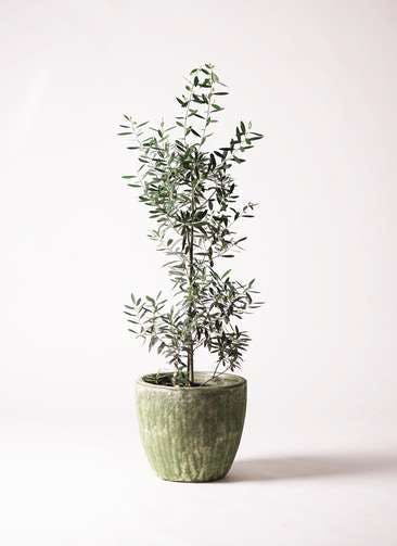 観葉植物 オリーブの木 8号 チプレッシーノ アビスソニアミドル 緑 付き