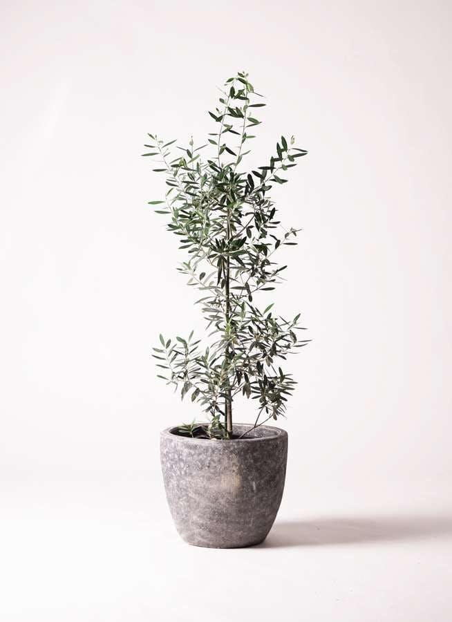 観葉植物 オリーブの木 8号 チプレッシーノ アビスソニアミドル 灰 付き