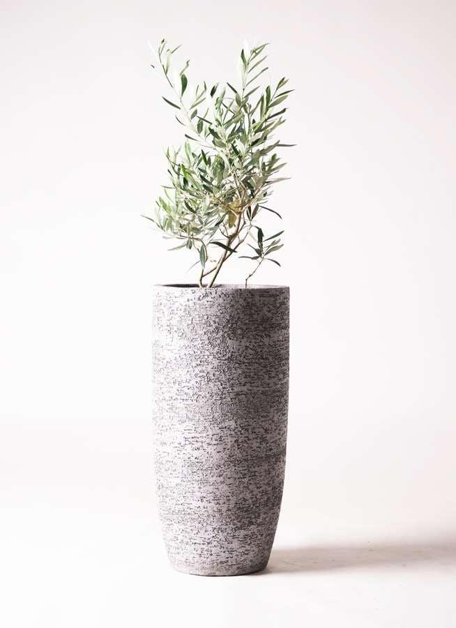 観葉植物 オリーブの木 6号 チプレッシーノ エコストーントールタイプ Gray 付き