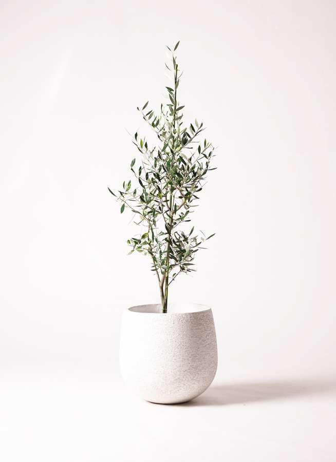 観葉植物 オリーブの木 8号 コロネイキ エコストーンwhite 付き