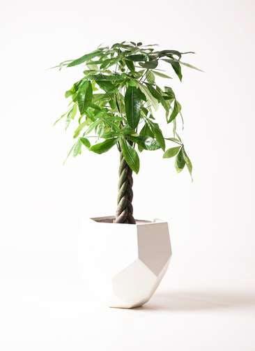 観葉植物 パキラ 8号 ねじり ポリゴヘクサ 白 付き