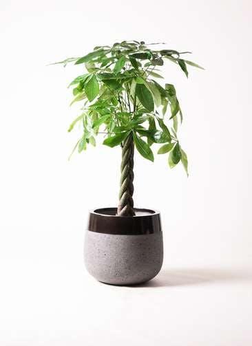 観葉植物 パキラ 8号 ねじり ファイバーストーンタウルス 黒 付き