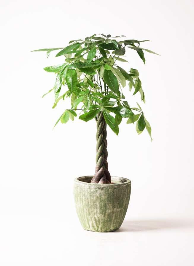 観葉植物 パキラ 8号 ねじり アビスソニア ミドル 緑 付き