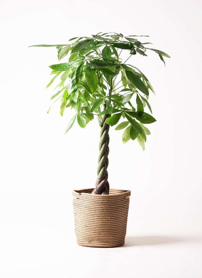 観葉植物 パキラ 8号 ねじり リブバスケットNatural 付き