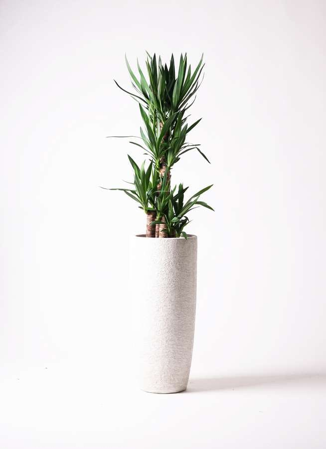 観葉植物 ユッカ 8号 ノーマル エコストーントールタイプ white 付き
