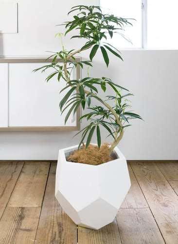 観葉植物 シェフレラ アンガスティフォリア 8号 曲り ポリゴヘクサ 白 付き