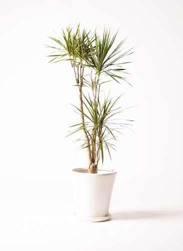 観葉植物 ドラセナ コンシンネ 8号 サブリナ 白 付き
