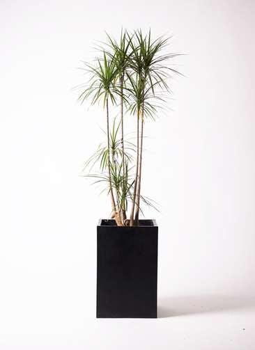 観葉植物 ドラセナ コンシンネ 10号 セドナロング 墨 付き