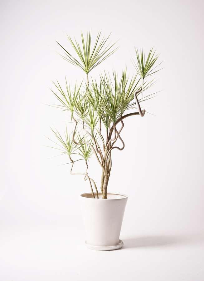 観葉植物 コンシンネ ホワイポリー 10号 曲り サブリナ 白 付き