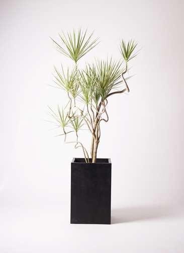 観葉植物 コンシンネ ホワイポリー 10号 曲り セドナロング 墨 付き