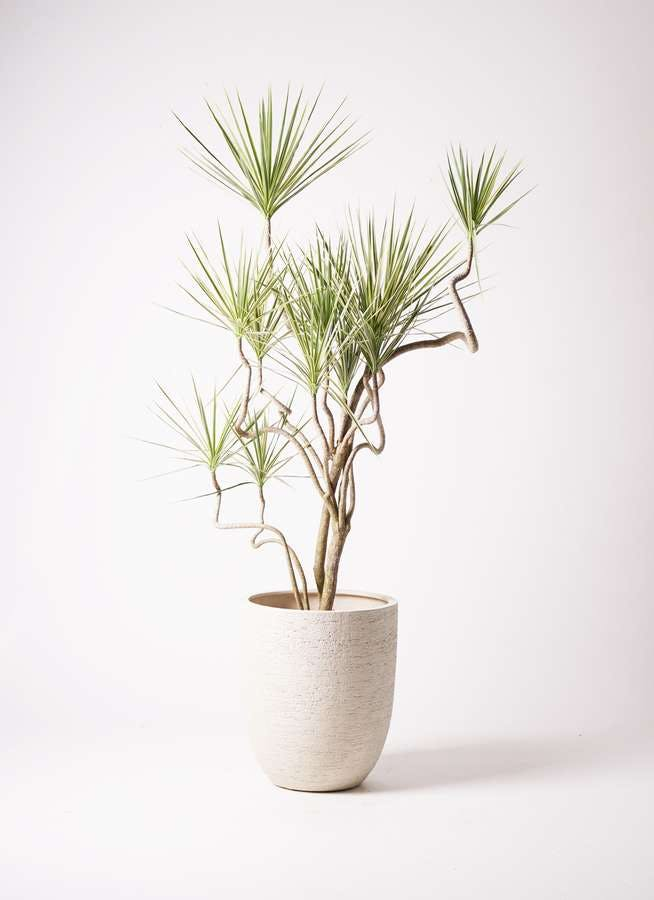 観葉植物 コンシンネ ホワイポリー 10号 曲り ビアスアルトエッグ 白 付き