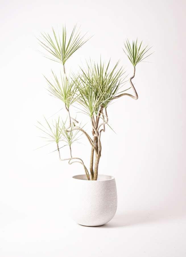 観葉植物 コンシンネ ホワイポリー 10号 曲り エコストーンwhite 付き