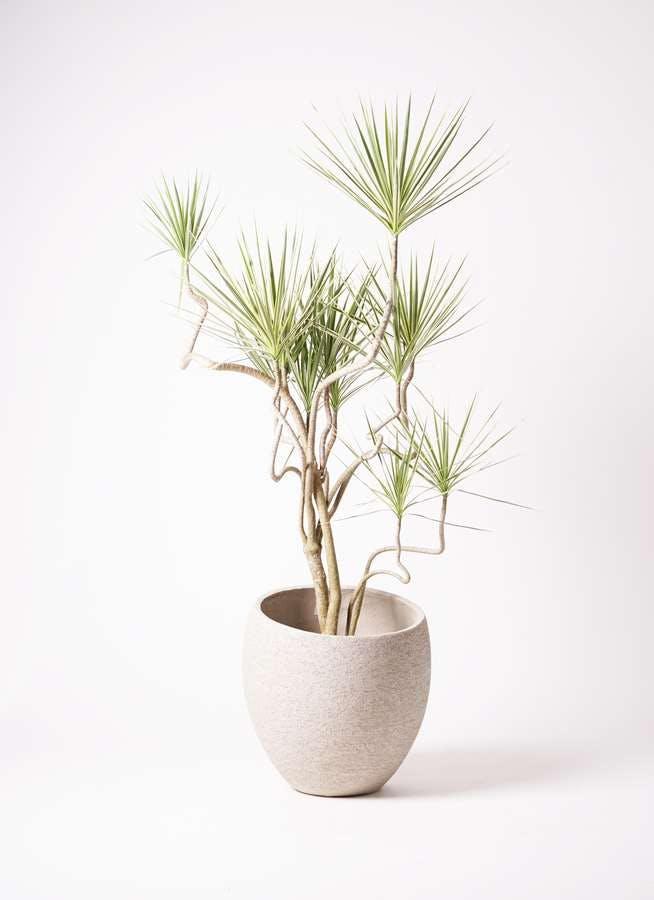 観葉植物 コンシンネ ホワイポリー 10号 曲り エコストーンLight Gray 付き