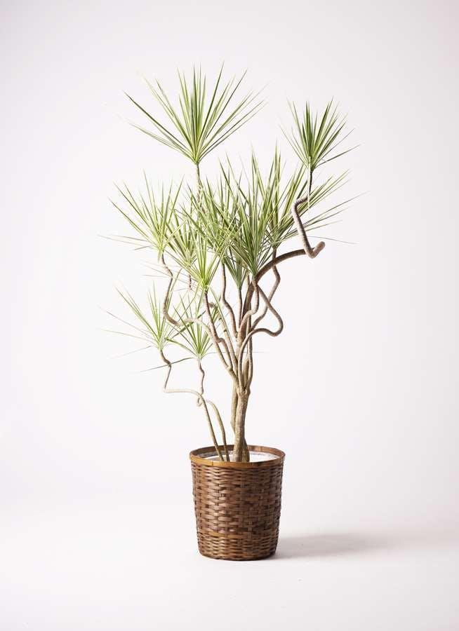 観葉植物 コンシンネ ホワイポリー 10号 曲り 竹バスケット 付き