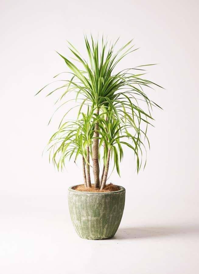 観葉植物 ドラセナ カンボジアーナ 8号 アビスソニアミドル 緑 付き