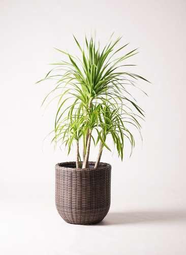 観葉植物 ドラセナ カンボジアーナ 8号 ウィッカーポットエッグ 茶 付き