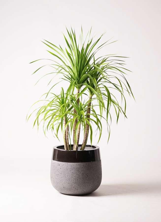 観葉植物 ドラセナ カンボジアーナ 8号 ファイバーストーンタウルス 黒 付き