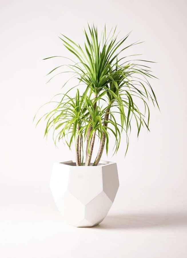 観葉植物 ドラセナ カンボジアーナ 8号 ポリゴヘクサ 白 付き