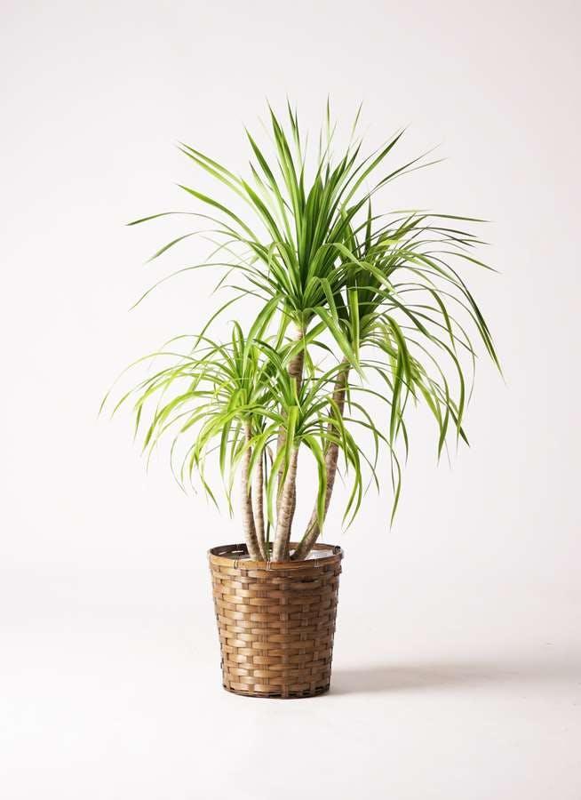 観葉植物 ドラセナ カンボジアーナ 8号 竹バスケット 付き