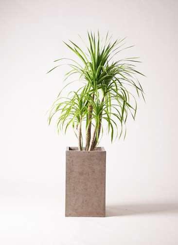 観葉植物 ドラセナ カンボジアーナ 8号 セドナロング グレイ 付き