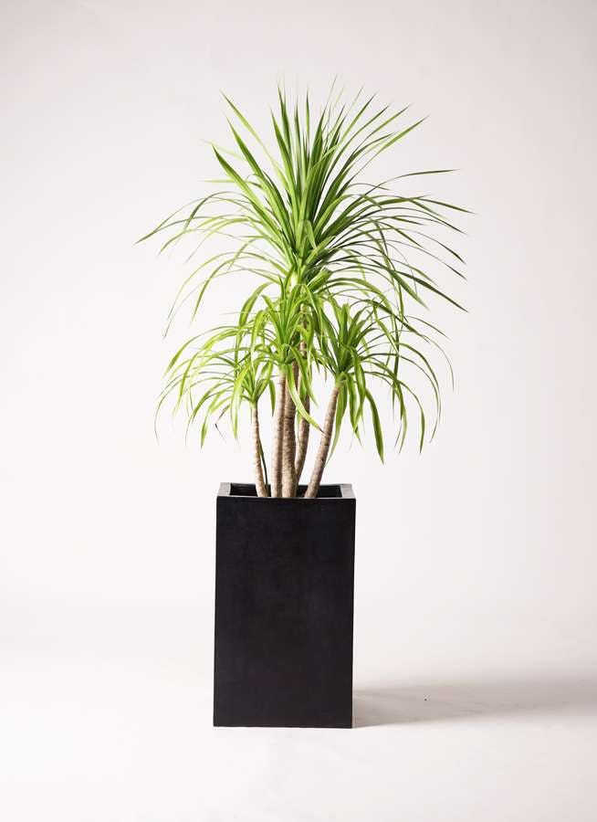 観葉植物 ドラセナ カンボジアーナ 8号 セドナロング 墨 付き