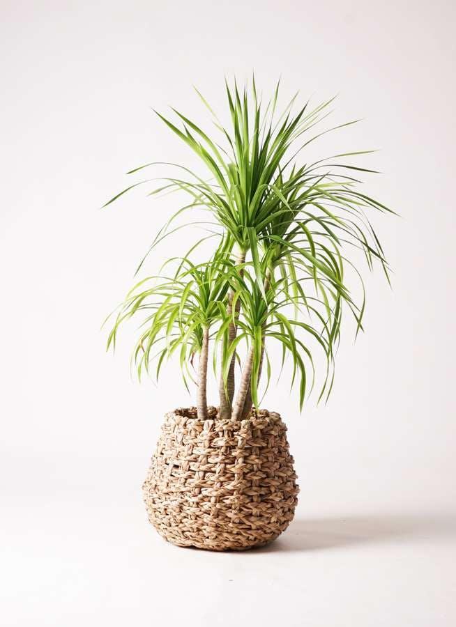 観葉植物 ドラセナ カンボジアーナ 8号 ラッシュバスケット Natural 付き