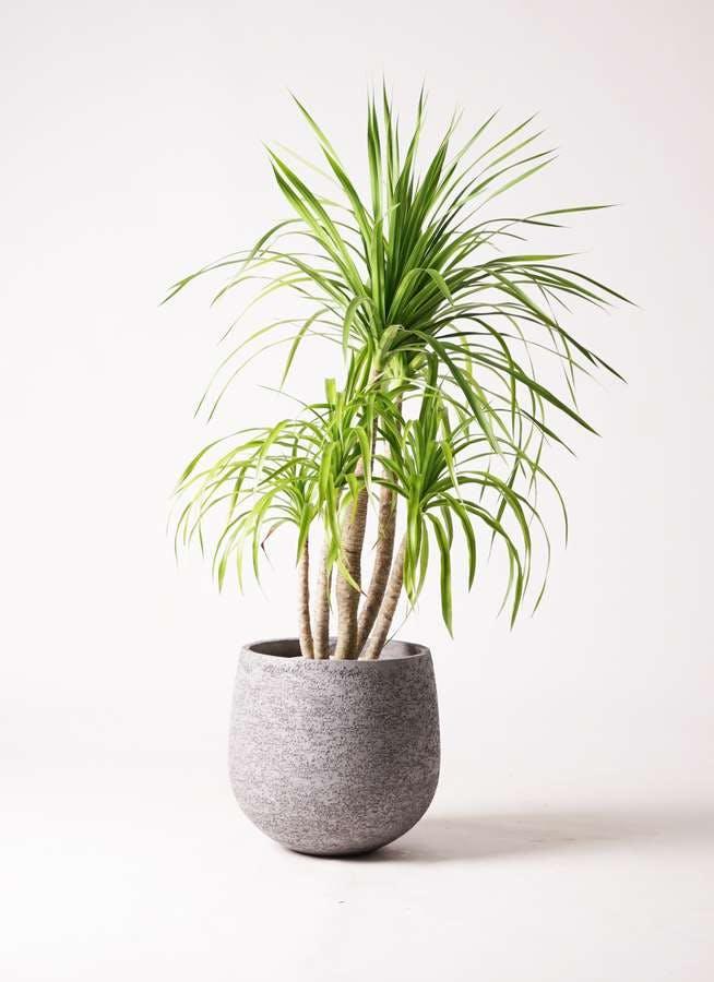観葉植物 ドラセナ カンボジアーナ 8号 エコストーンGray 付き