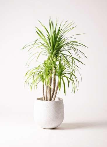 観葉植物 ドラセナ カンボジアーナ 8号 エコストーンwhite 付き