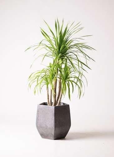 観葉植物 ドラセナ カンボジアーナ 8号 ファイバークレイ Gray 付き