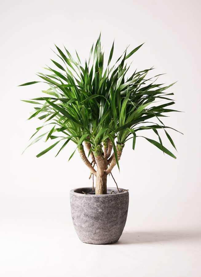 観葉植物 ドラセナ パラオ 8号 アビスソニアミドル 灰 付き
