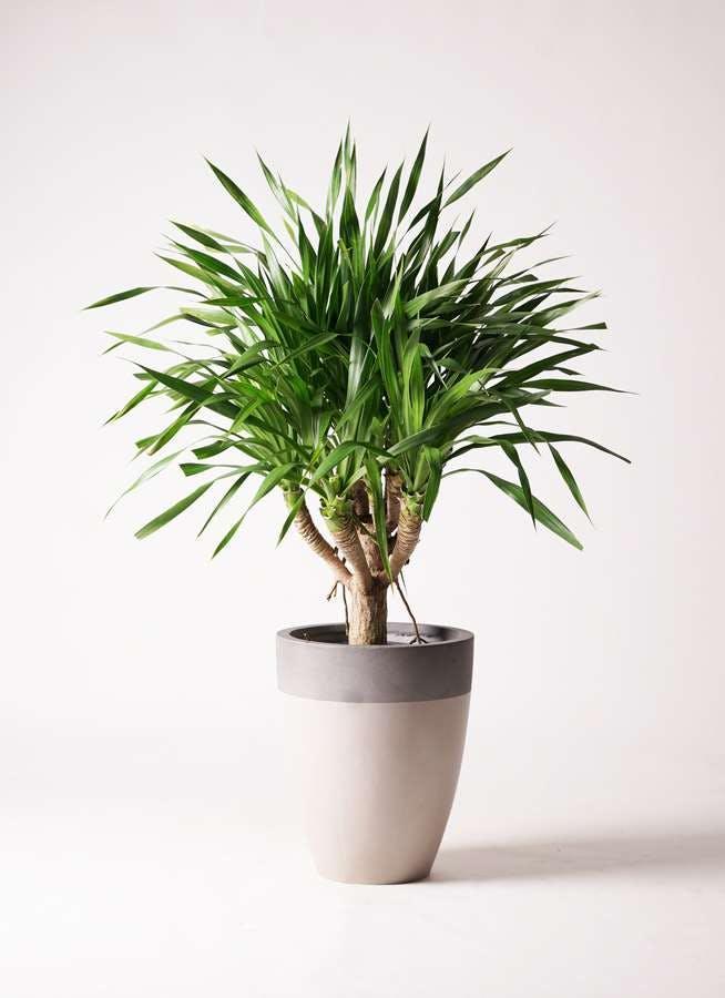 観葉植物 ドラセナ パラオ 8号 ファイバーストーンカプリ サンディホワイト 付き