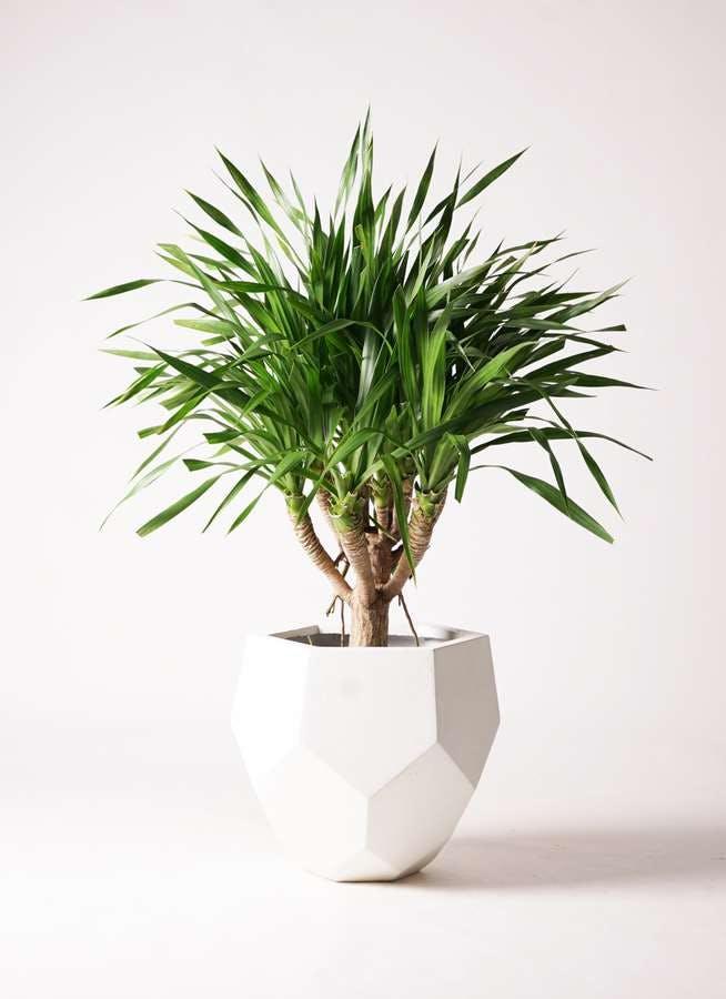 観葉植物 ドラセナ パラオ 8号 ポリゴヘクサ 白 付き